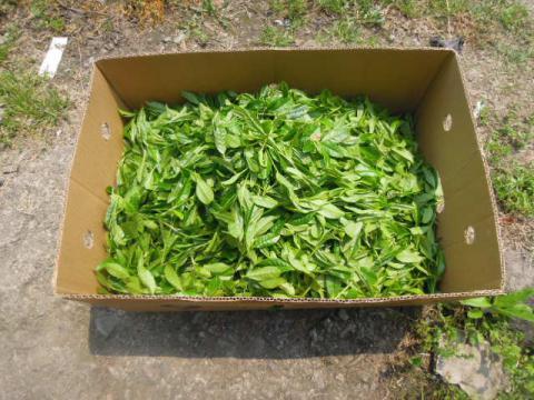 紅茶の新芽摘み