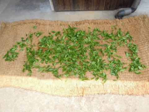 紅茶の葉を干す