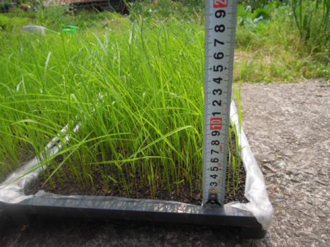 稲の成長具合