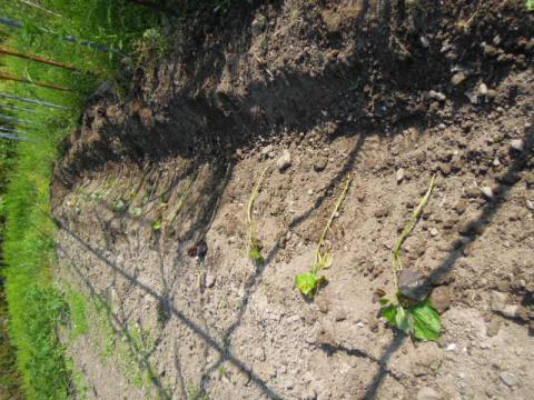 サツマイモを育てる