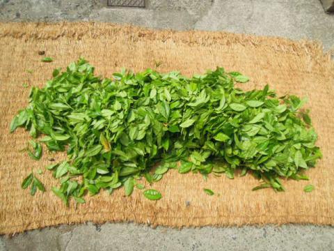 茶の葉の収穫