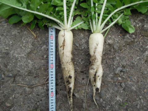 白茎亀井戸大根収穫1