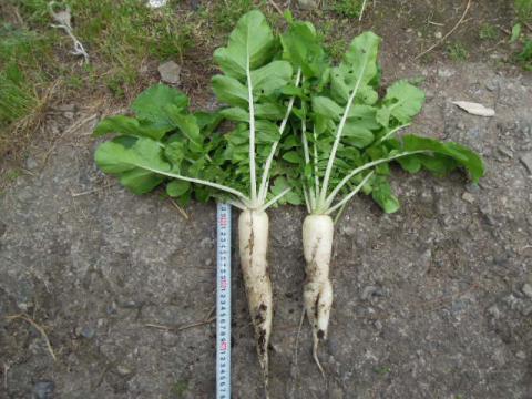 白茎亀井戸大根収穫2