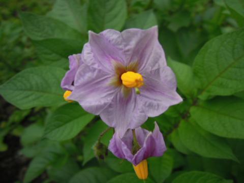 スタールビーの花