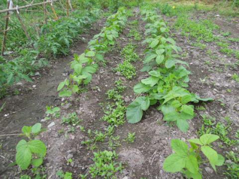 黒大豆を育てる