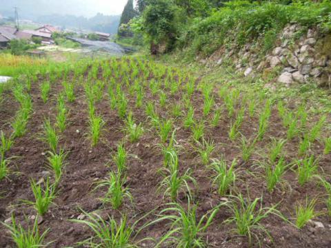 陸稲の状況