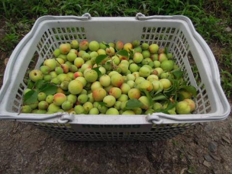 果樹園の梅の収穫
