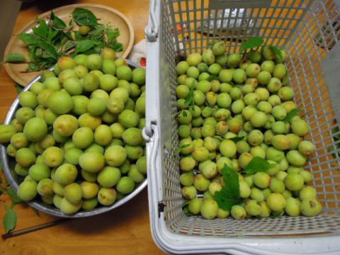 梅の実の収穫