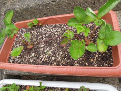 いちごの苗の成長