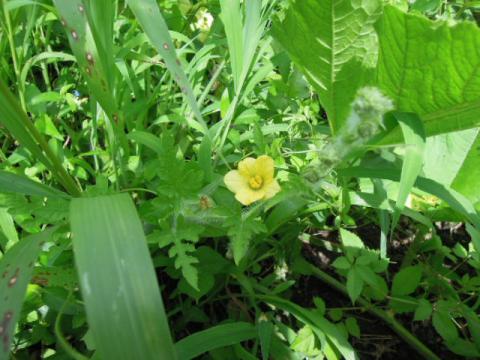 シュガーベイビーの花