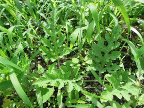 シュガーベイビーの葉