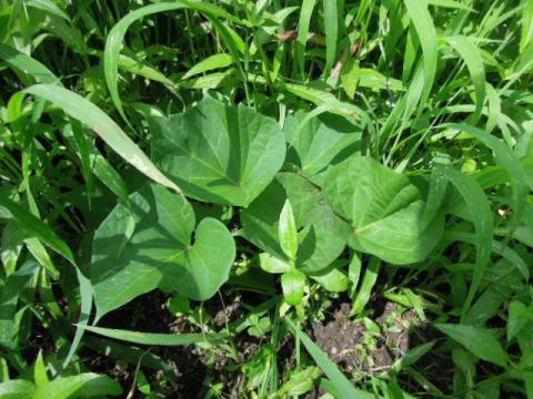 安納芋の成長
