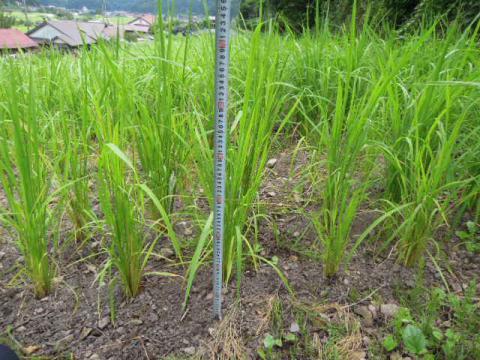陸稲の成長