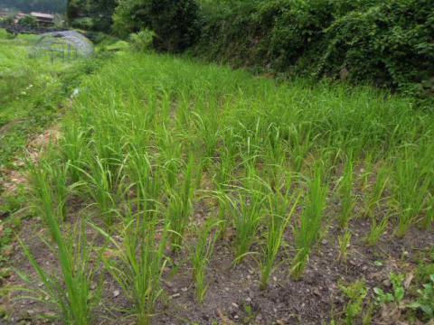 陸稲の風景