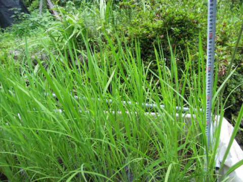 水稲の成長