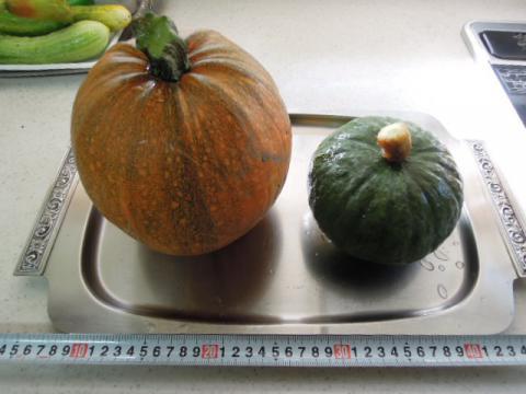 かぼちゃの収穫2種類