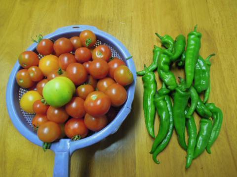 万願寺とうがらし収穫