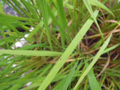 稲の葉に黒点