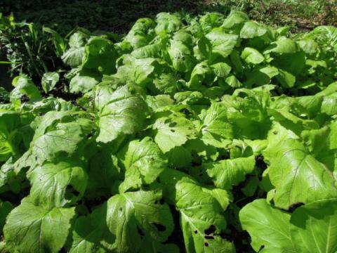高菜の成長記録