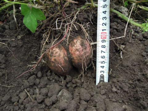 土の中の安納芋