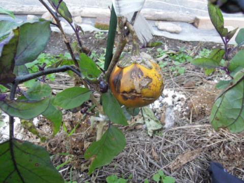 賀茂茄子の種取り