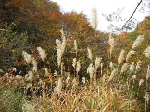 紅葉の秋 ススキ