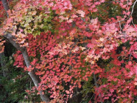 紅葉の秋 もみじ