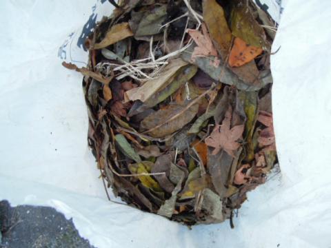 清掃した落ち葉