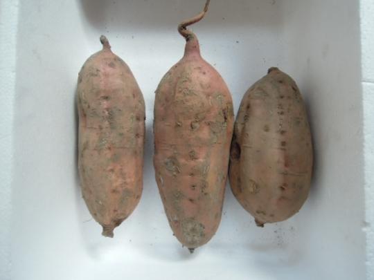 安納芋の芽出し(さつまいも)H26