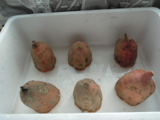 安納芋の芽出し(さつまいも)準備H26