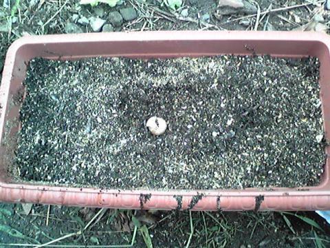 にんにくプランター栽培