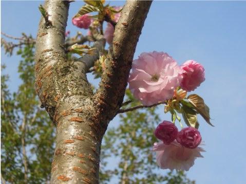 八重桜 紅笠