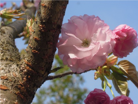 八重桜 紅笠2