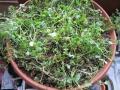 コリ収穫1