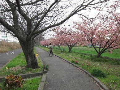 2013_03103D桜0016