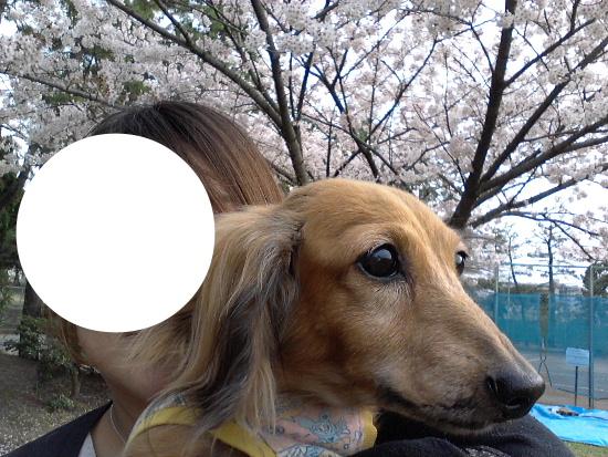 アリエルと桜5