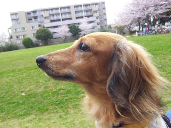 アリエルと桜2