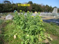 菜の花0313