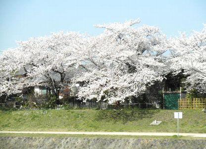 出町 桜1