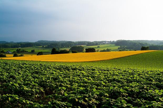小麦の絨毯-9601