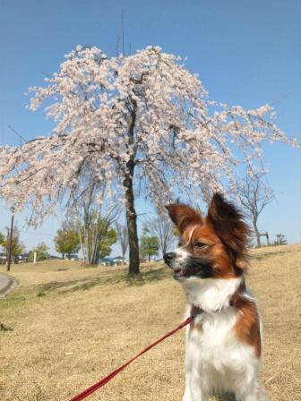 柚sakura