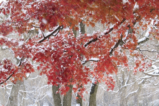 _MG_8242紅葉雪