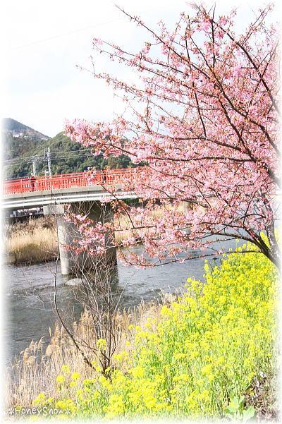 河津桜2013