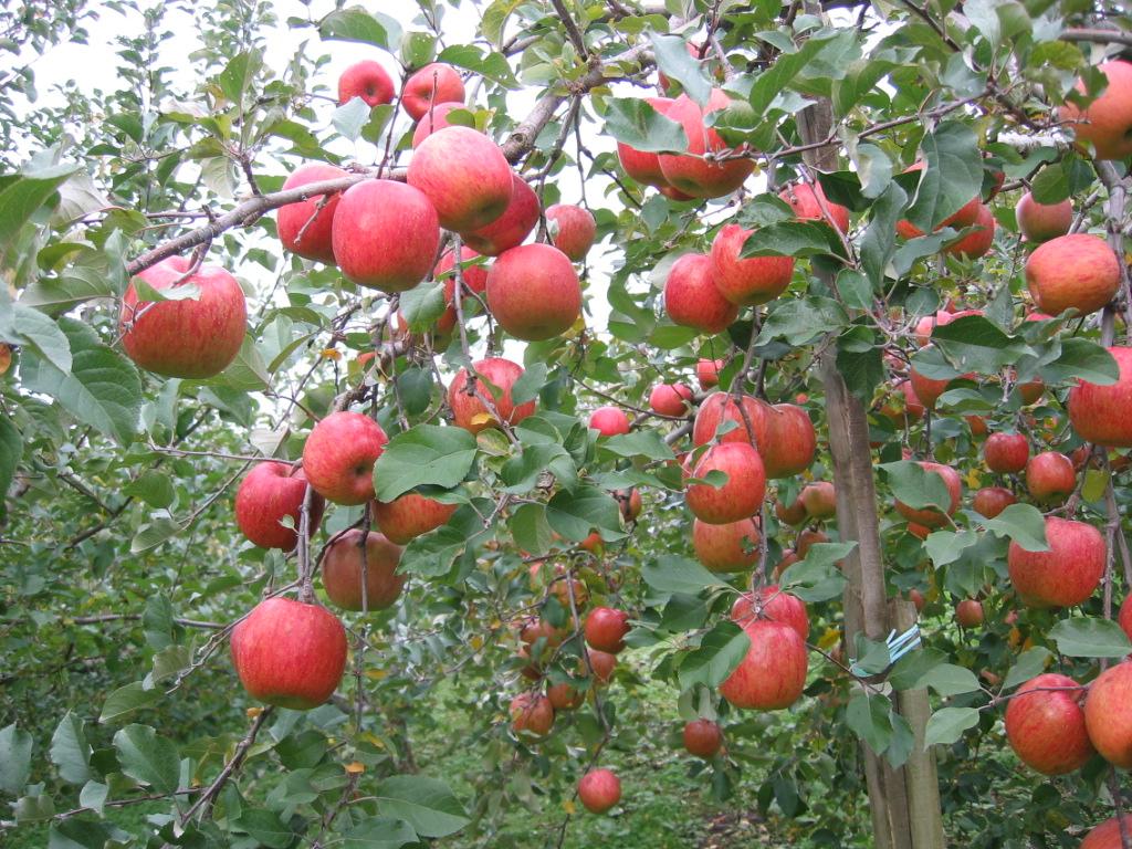 原田敬司さんとこのりんご