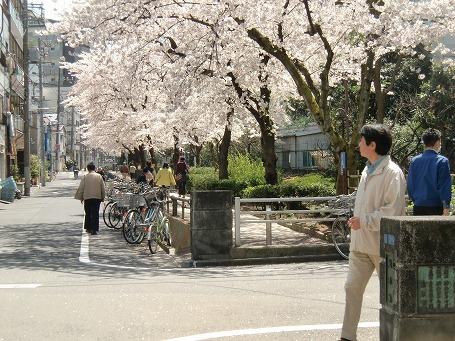 山谷堀公園の桜のトンネル(紙洗橋)