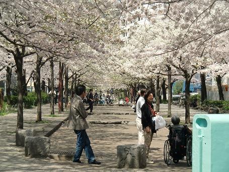 山谷堀公園の桜のトンネル(今戸橋)