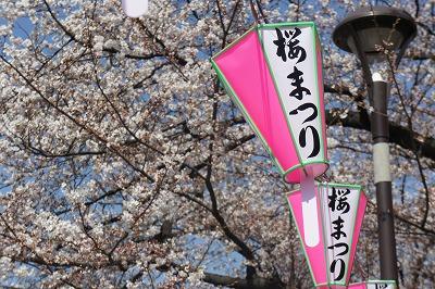墨堤 の桜に取り付けられたぼんぼり