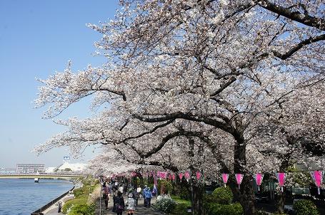 隅田公園の墨田区側の桜