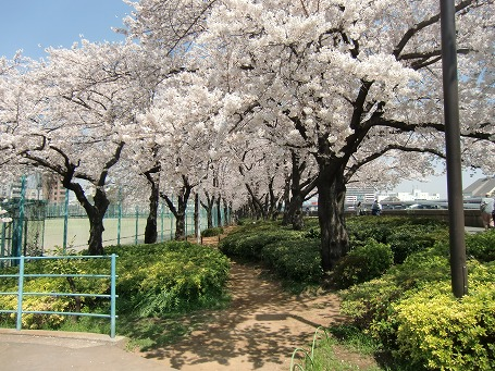 隅田公園の台東区側の桜