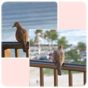 RANAIの鳩